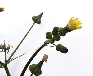 Sonchus flower 2