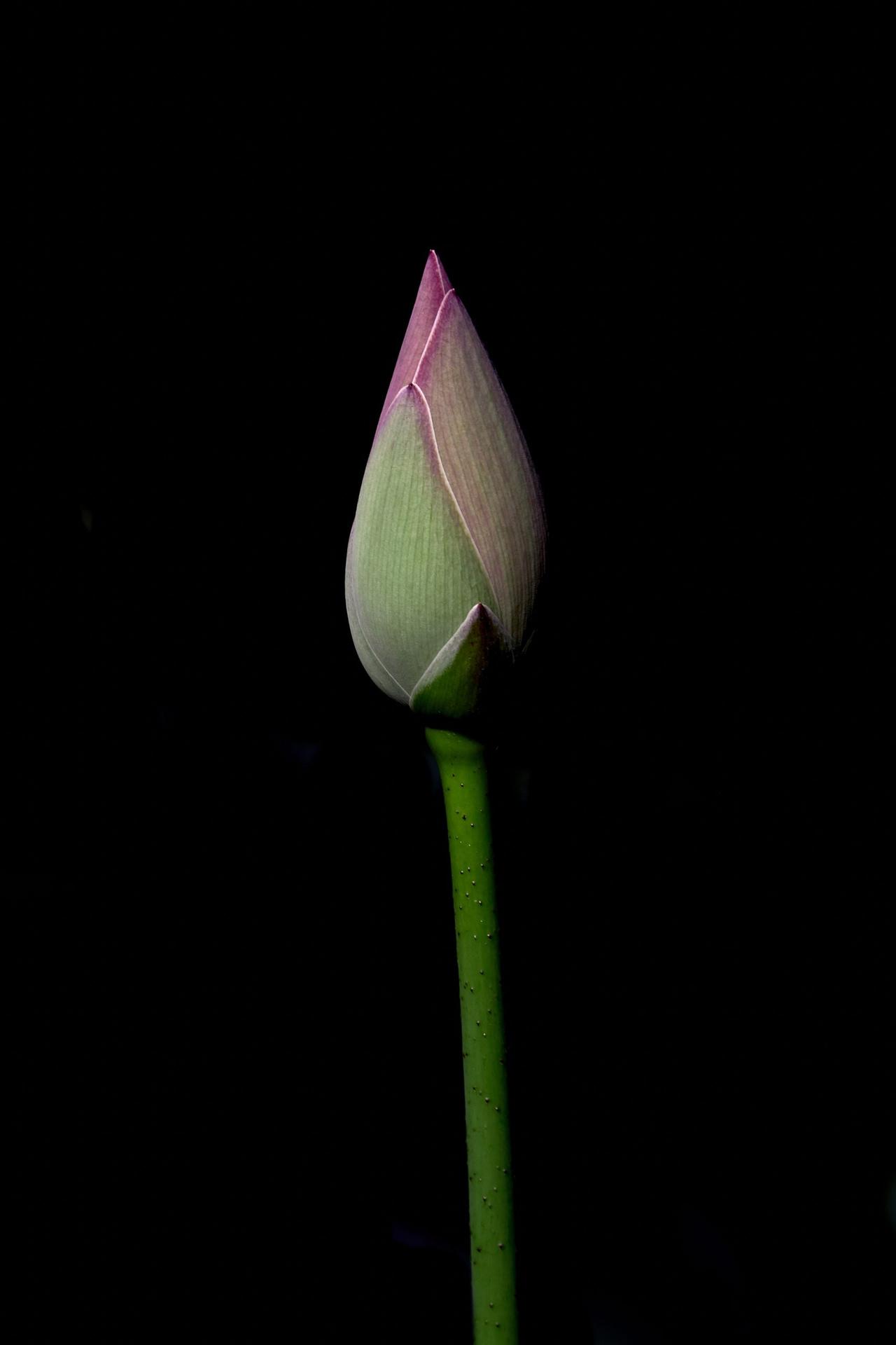 flower-LOTUS 4632987