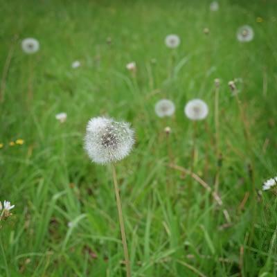 Dandelion Cypsela in field 2
