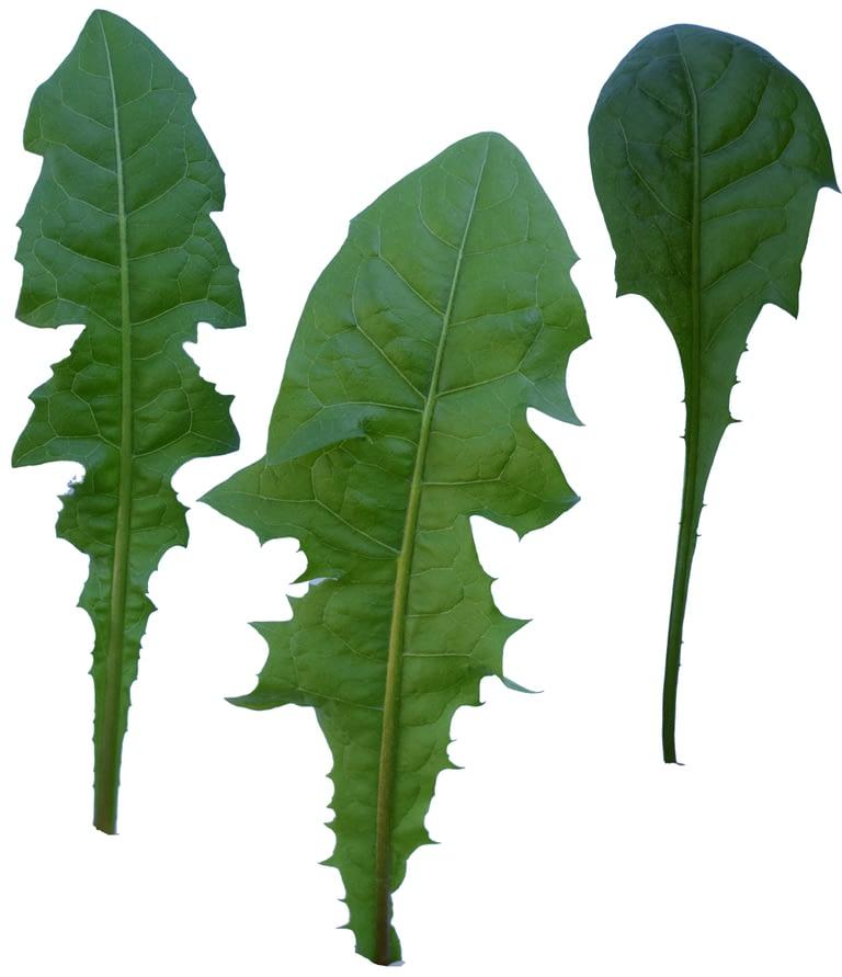 Leaves-Dandelion