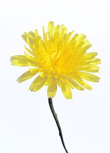 Sonchus flower 2mb