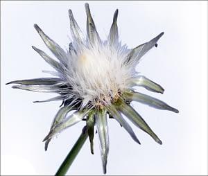 Soleraceus seed head MED border