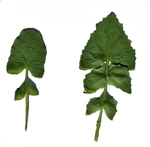 Sonchus leaves 2